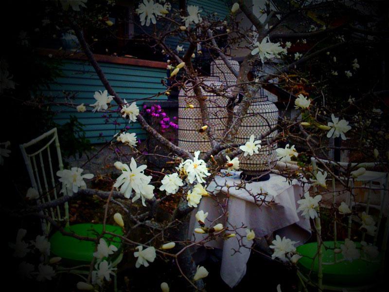Magnoliatoy